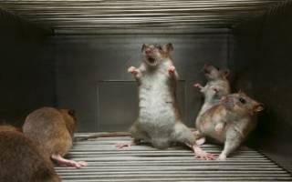 Молитва для избавления от крыс