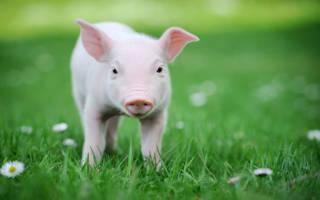 К чему снится свинья. Значение сна: снятся маленькие свиньи(поросята)
