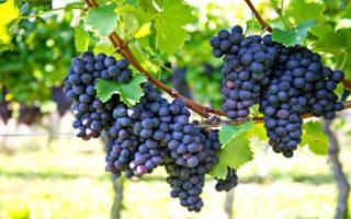 К чему снится гроздь зеленого винограда. Сонник черный виноград видеть