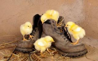 Сонник: к чему снятся цыплята. К чему снится цыпленок